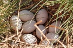 wood-duck-eggs